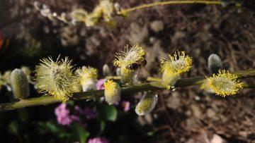 Bienen Begrüssen Frühling 2020